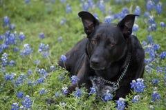 O cão de Labrador em um Bluebonnet floresce Fotografia de Stock Royalty Free