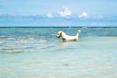 O cão de labrador retriever no mar azul com o céu azul claro na ilha de Koh Chang em Tailândia Fotos de Stock