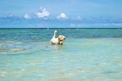 O cão de labrador retriever no mar azul com o céu azul claro na ilha de Koh Chang em Tailândia Imagens de Stock