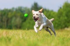 O cão de Labrador salta para uma bola Fotografia de Stock