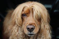 O cão de minha amiga como um modelo imagens de stock