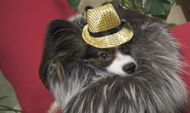 O cão de Papillon no terno bonito em um casaco de pele e em um chapéu do concerto com uma borboleta é removido no grampo fotos de stock