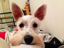 O cão de Perola Foto de Stock