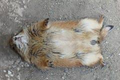 O cão de pradaria encontra-se nele parte traseira do ` s imagem de stock royalty free