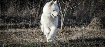 o cão de puxar trenós branco com olhos azuis um foto de stock royalty free