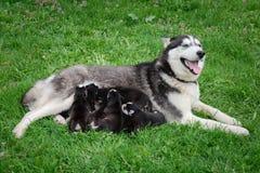 O cão de puxar trenós com olhos azuis alimenta os cachorrinhos fotografia de stock royalty free