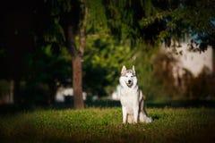 O cão de puxar trenós do cão senta-se na grama Imagens de Stock