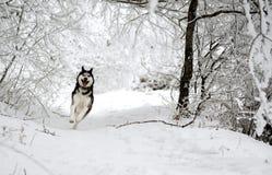 O cão de puxar trenós engraçado da raça do cão corre através da floresta nevado fotografia de stock royalty free