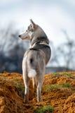 O cão de puxar trenós está olhando o sth Fotografia de Stock