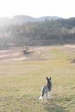 O cão de puxar trenós novo está olhando para a frente, à natureza Fotografia de Stock