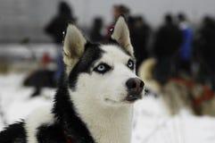O cão de puxar trenós Siberian fotos de stock