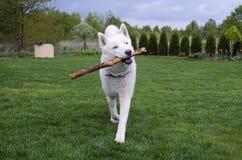 O cão de puxar trenós siberian branco está jogando com a vara Foto de Stock Royalty Free
