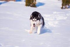 O cão de puxar trenós Siberian conquista montes de neve fotos de stock
