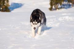 O cão de puxar trenós Siberian conquista montes de neve foto de stock