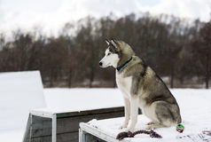 O cão de puxar trenós Siberian do cão no inverno Fotos de Stock