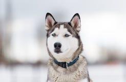 O cão de puxar trenós Siberian do cão no inverno Foto de Stock Royalty Free