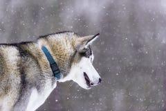 O cão de puxar trenós Siberian do cão no inverno Imagens de Stock