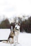 O cão de puxar trenós Siberian do cão no inverno Imagem de Stock