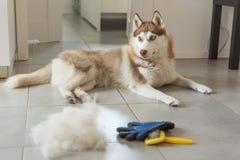 O cão de puxar trenós Siberian encontra-se no assoalho na pilha de seu pente da pele e do cão foto de stock royalty free