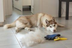 O cão de puxar trenós Siberian encontra-se no assoalho na pilha de seu pente da pele e do cão fotos de stock royalty free