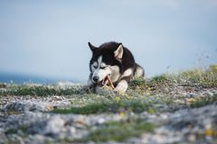 O cão de puxar trenós Siberian engraçado preto e branco que encontra-se em uma montanha come deleites O cão engraçado no fundo da Imagens de Stock Royalty Free