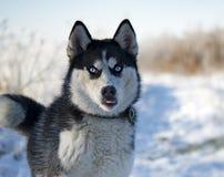 O cão de puxar trenós Siberian está andando imagens de stock royalty free