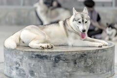 O cão de puxar trenós Siberian está sentando-se na exploração agrícola, Sakonnakhon, Tailândia Fotos de Stock Royalty Free