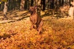 O cão de Rhodesian Ridgeback está correndo em Autumn Leaves Ground Imagens de Stock Royalty Free