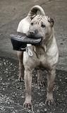 O cão de Sharpei com sapatas brinca em sua boca Imagens de Stock Royalty Free