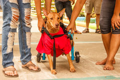 o cão deficiente Traseiro-equipado com pernas hesita começar seu estreio após ter recebido a cadeira de rodas do cão fotografia de stock