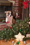 O cão destrói o Natal fotos de stock