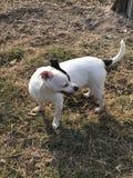 O cão disperso feliz do salvamento de Terrier de rato é adotado imagens de stock royalty free