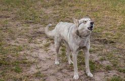 O cão disperso selvagem descasca em transeuntes fotografia de stock