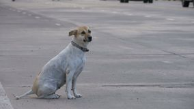 O cão disperso senta-se na estrada com passagem de carros e de motocicletas Ásia, Tailândia Movimento lento vídeos de arquivo