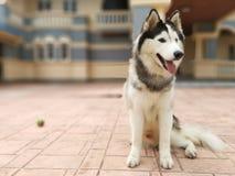 O cão do ‹de The†está sorrindo fotos de stock royalty free
