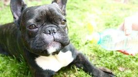 O cão do buldogue francês é água potável de uma garrafa video estoque