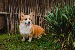O cão do Corgi Fotografia de Stock Royalty Free