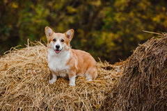 O cão do Corgi no monte de feno Imagens de Stock
