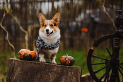 O cão do Corgi no monte de feno Imagens de Stock Royalty Free