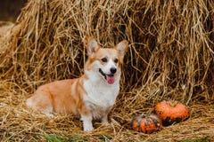 O cão do Corgi no monte de feno Imagem de Stock