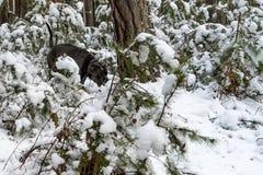 O cão do corso do bastão atravessa a floresta do inverno fotos de stock royalty free