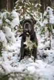 O cão do corso de Grey Cane está sentando-se na floresta do inverno imagem de stock