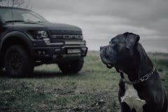 O cão do corso de Grey Cane está sentando-se na floresta do outono foto de stock royalty free