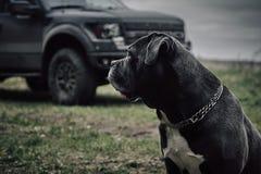 O cão do corso de Grey Cane está sentando-se na floresta do outono imagens de stock royalty free
