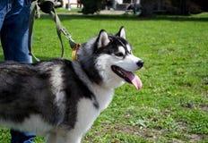 O cão do cão de puxar trenós Siberian com suportes e anticipa A grama verde-clara está no fundo foto de stock royalty free