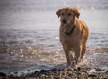 O cão do golden retriever aprecia na praia Fotografia de Stock Royalty Free