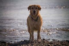 O cão do golden retriever aprecia na praia Foto de Stock