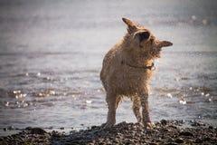 O cão do golden retriever aprecia na praia Imagens de Stock