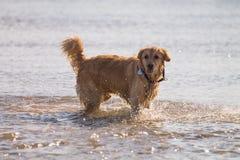 O cão do golden retriever aprecia na praia Foto de Stock Royalty Free