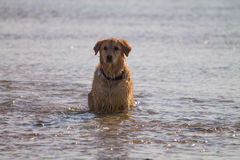 O cão do golden retriever aprecia na praia Imagens de Stock Royalty Free
